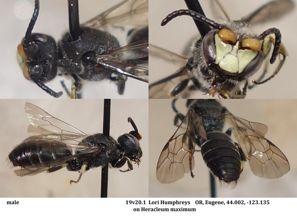 Lori Humphreys posted some great images this week, including this bee. Linc identified these  Hylaeus  (Cephalylaeus) of which there are two species in our area  H. basalis  and  H. nunenmacheri . Briana Lindh noted that these bees love cows parsnip.