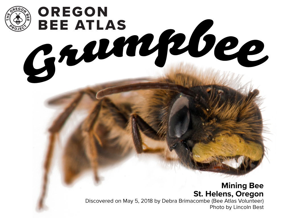 Linc marked the passing of Grumpy Cat by finding the grumpiest bee in Oregon in 2018. Great job Debi for catching one of two specimens of this Andrea species.