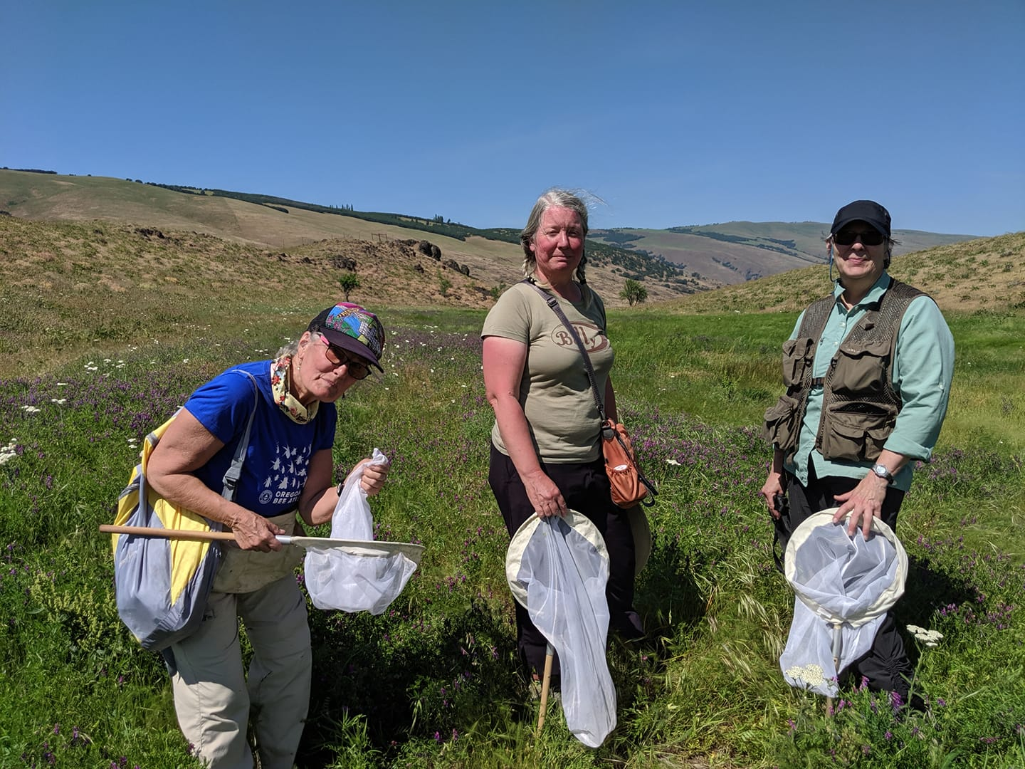 Elaine Rybak,  Pam Arion  and Martha Richards (from the Portland team) catching some great bees on vetch on June 1 at Four Sisters Columbia Land Trust site outside the Dalles. Elaine was able to get access to this site by reaching out to the Columbia Land Trust.