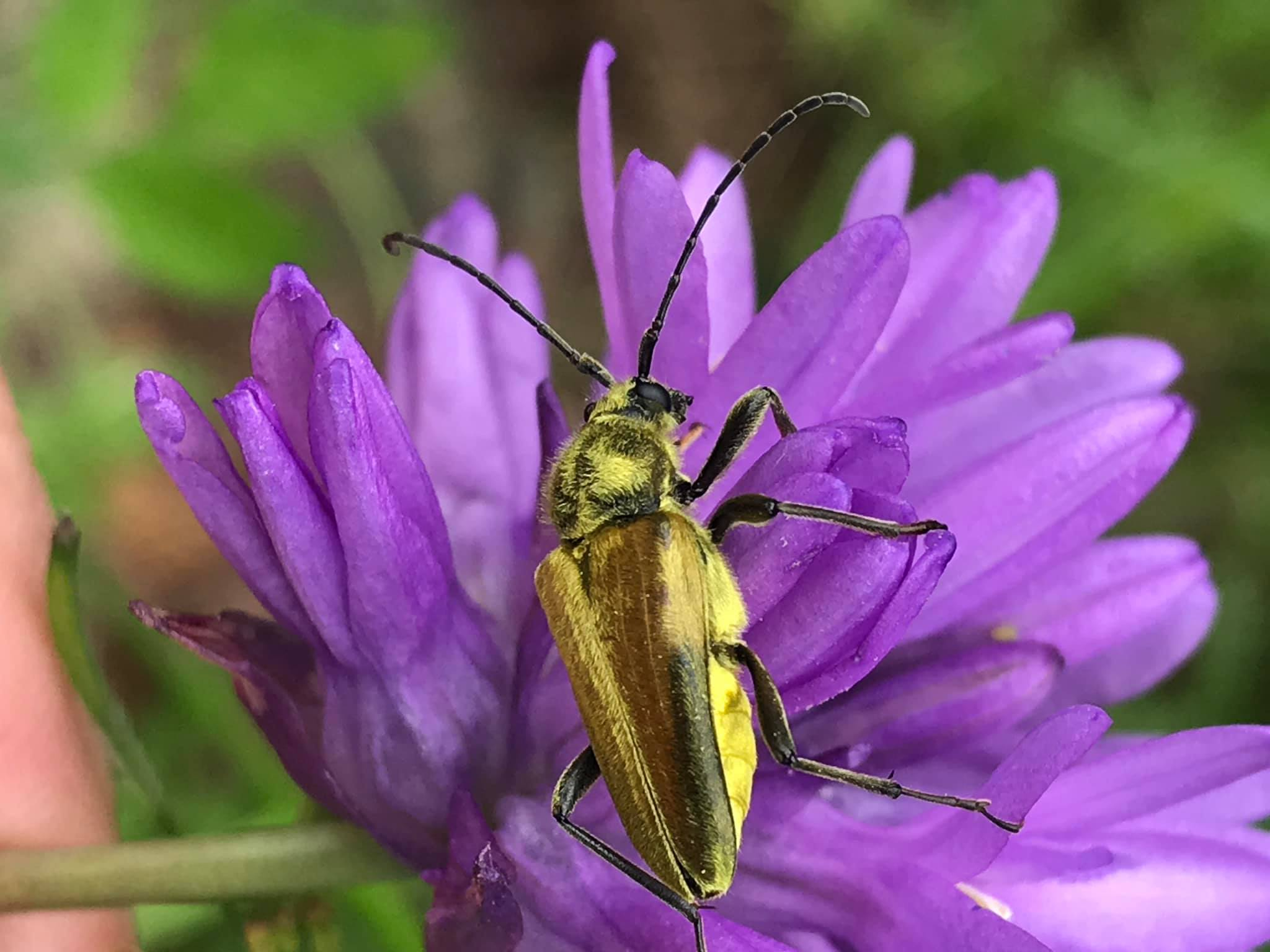 "Some of the Portland and Yamhill OBA members teamed up to work with OSU faculty Amy Grotta at Matteson Forest. Michaelo O'Loughlin writes ""It was cool and cloudy but found bees and this Lepturobosca chrysocoma on Dichelostemma congestum""."