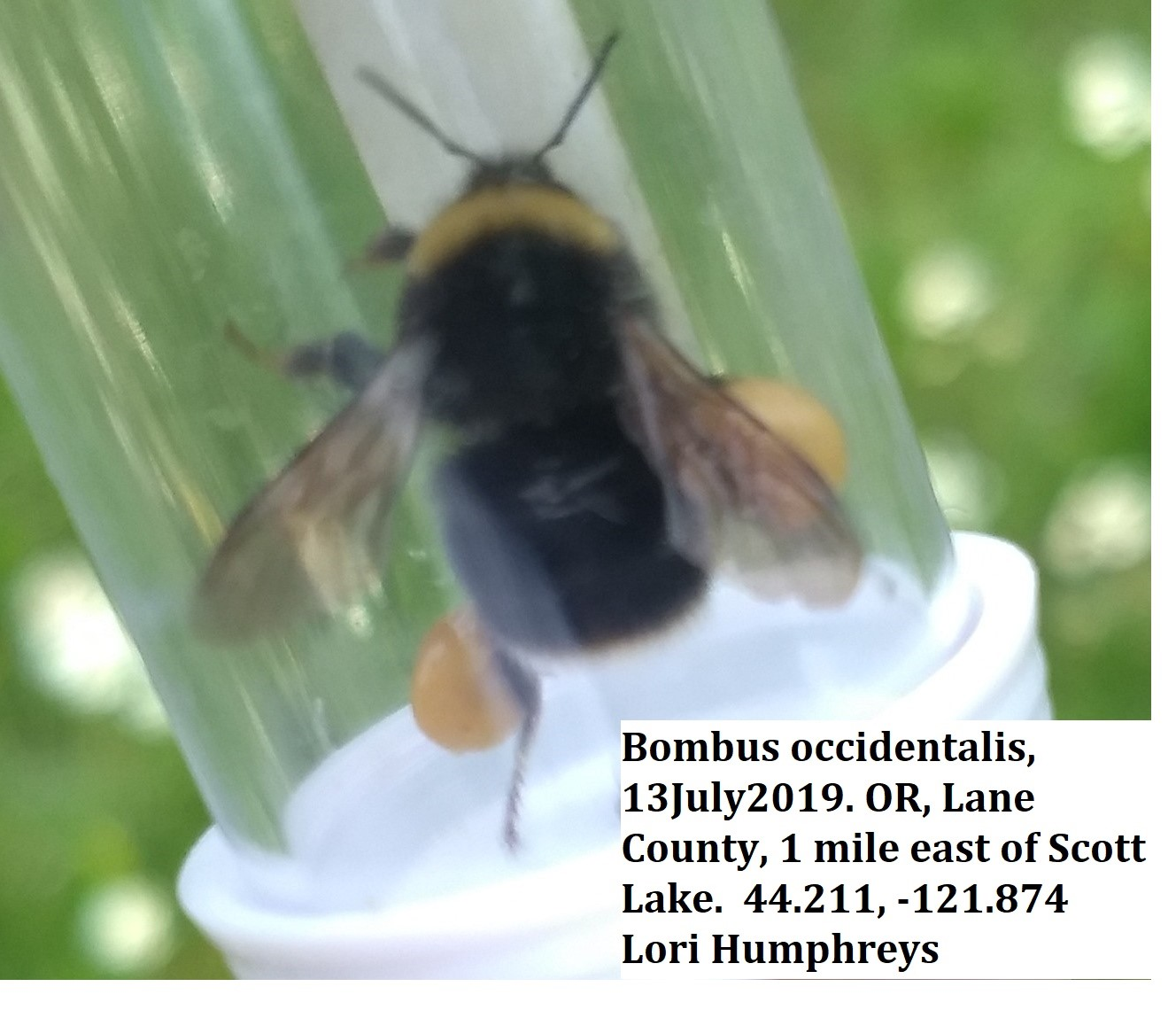 The Western Bumble Bee use to be very common in the Willamette Valley, but it has experienced a range reduction. We are interested in knowing the pockets in the Cascades where the bees are doing well. Last year we only had four records. Lori Humphreys from Eugene found a great example on the way over to Sisters from Eugene.