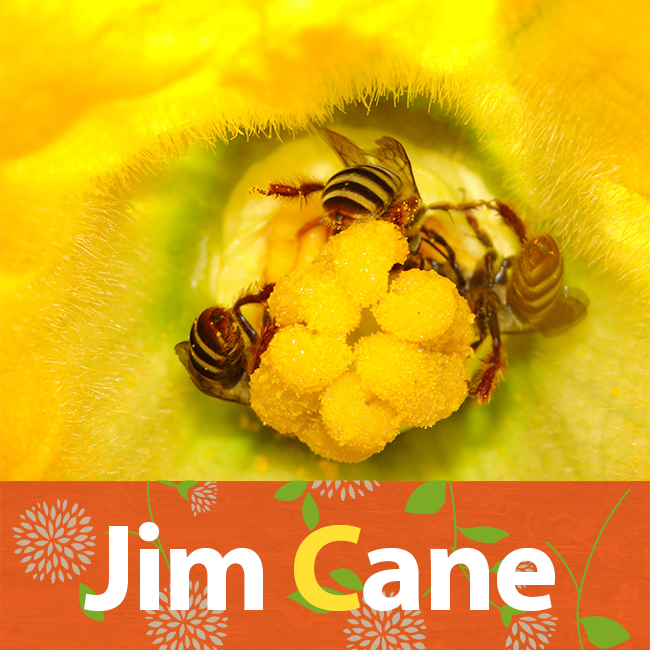 Jim Cane talked about squash bees on PolliNation. Hear more here:  http://blogs.oregonstate.edu/pollinationpodcast/2019/08/03/106-jim-cane-squash-and-sunflower-bees/ . We still want you to monitor for squash bees. Sarah Red-Laird wrote a great blog on how to do this:  https://www.beegirl.org/blog/peponapis