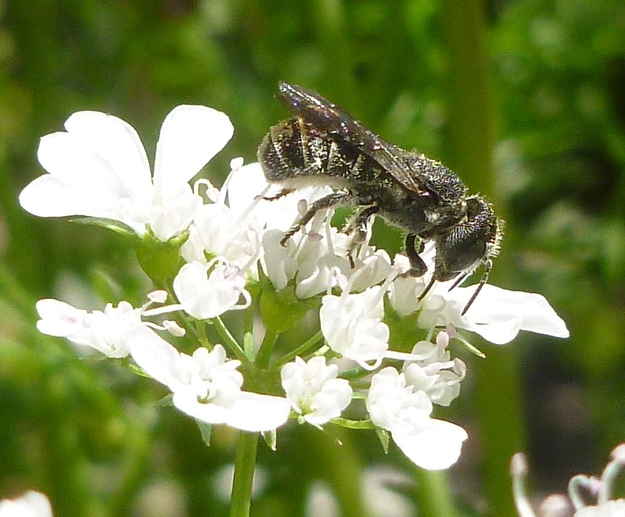Lori Humphrey gets a nice shot of a female in the family Megachilidae on cilantro.