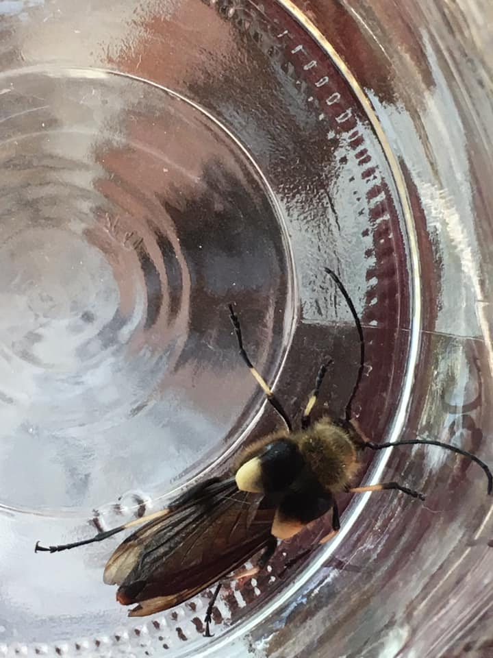 Stephanie Hazen from Salem found this beetle. Michael O'Loughlin identified it as Ulochaetes leoninus. The discovery caught the attention of OSAC curator Christopher Marshall, who said there was active research on this group in California. Great find Stephanie.