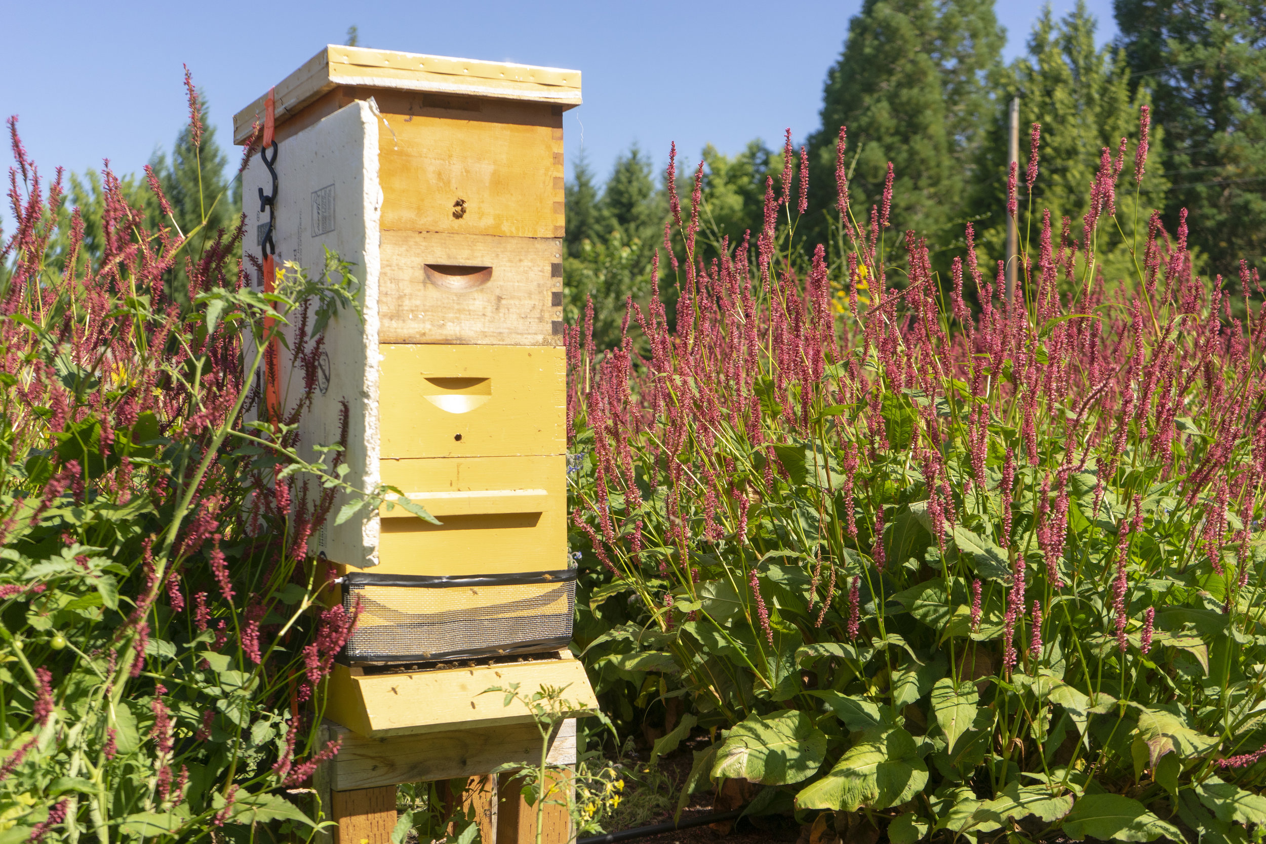 One of several bee colonies that Pam keeps around her farm. Pam is an Oregon Master Beekeeper.