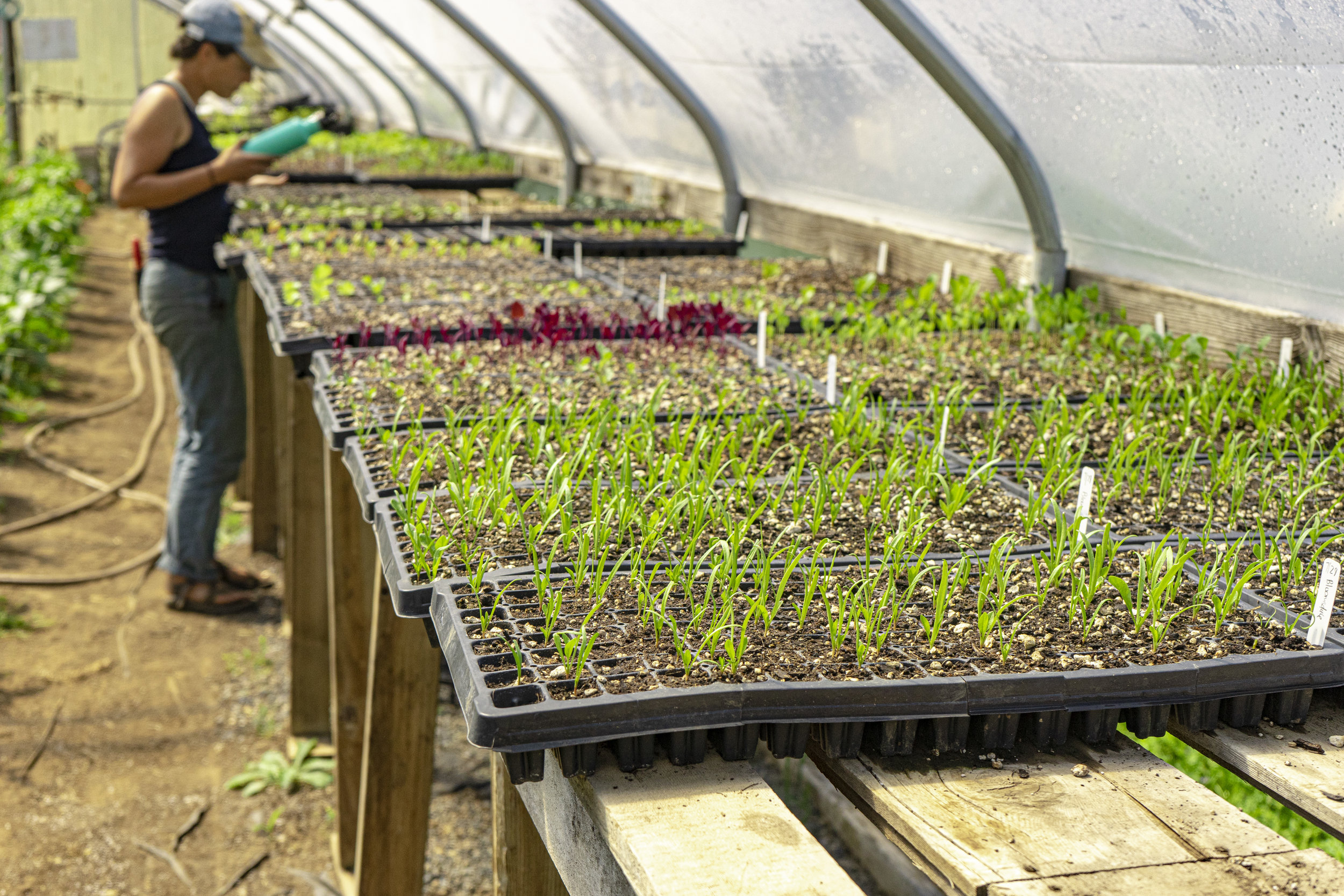 Plant starts in one of their greenhouses.
