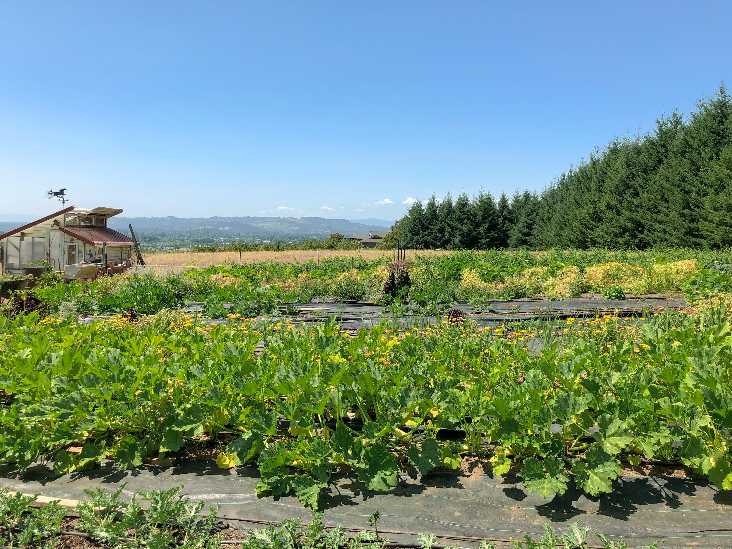 Rows of various vegetables overlooking the city of Newberg.