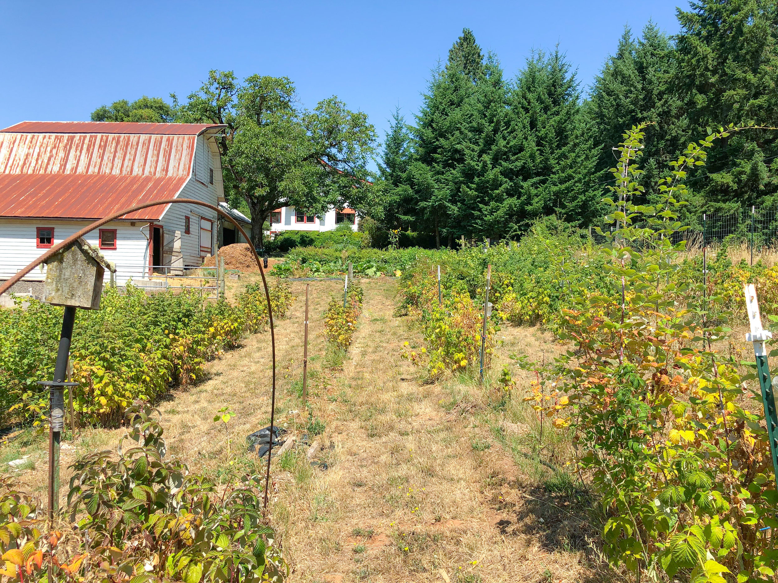 Rows of raspberries backing up to the family's horse barn.