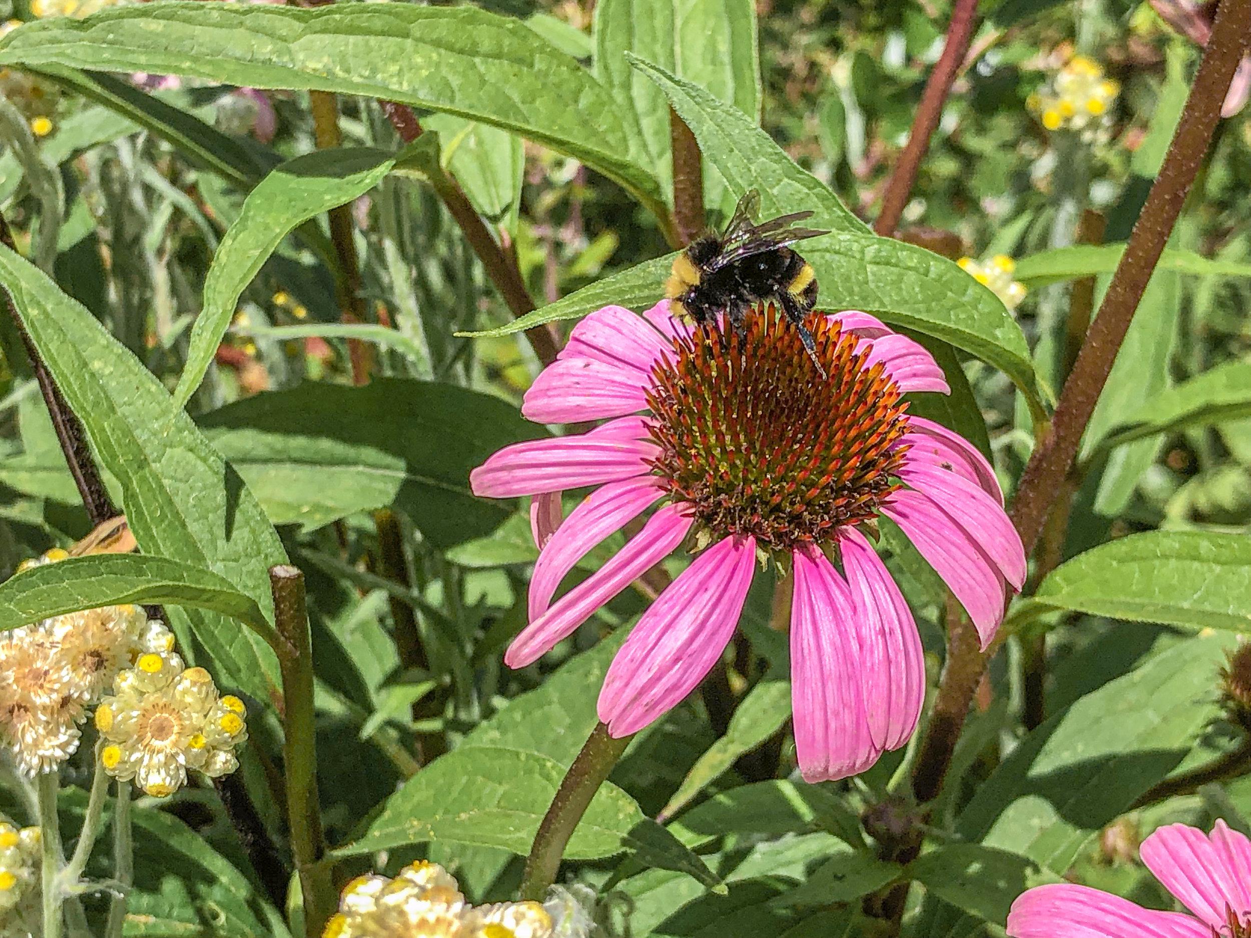 A Yellow Face Bumble Bee ( Bombus vosnesenskii)  collecting nectar.