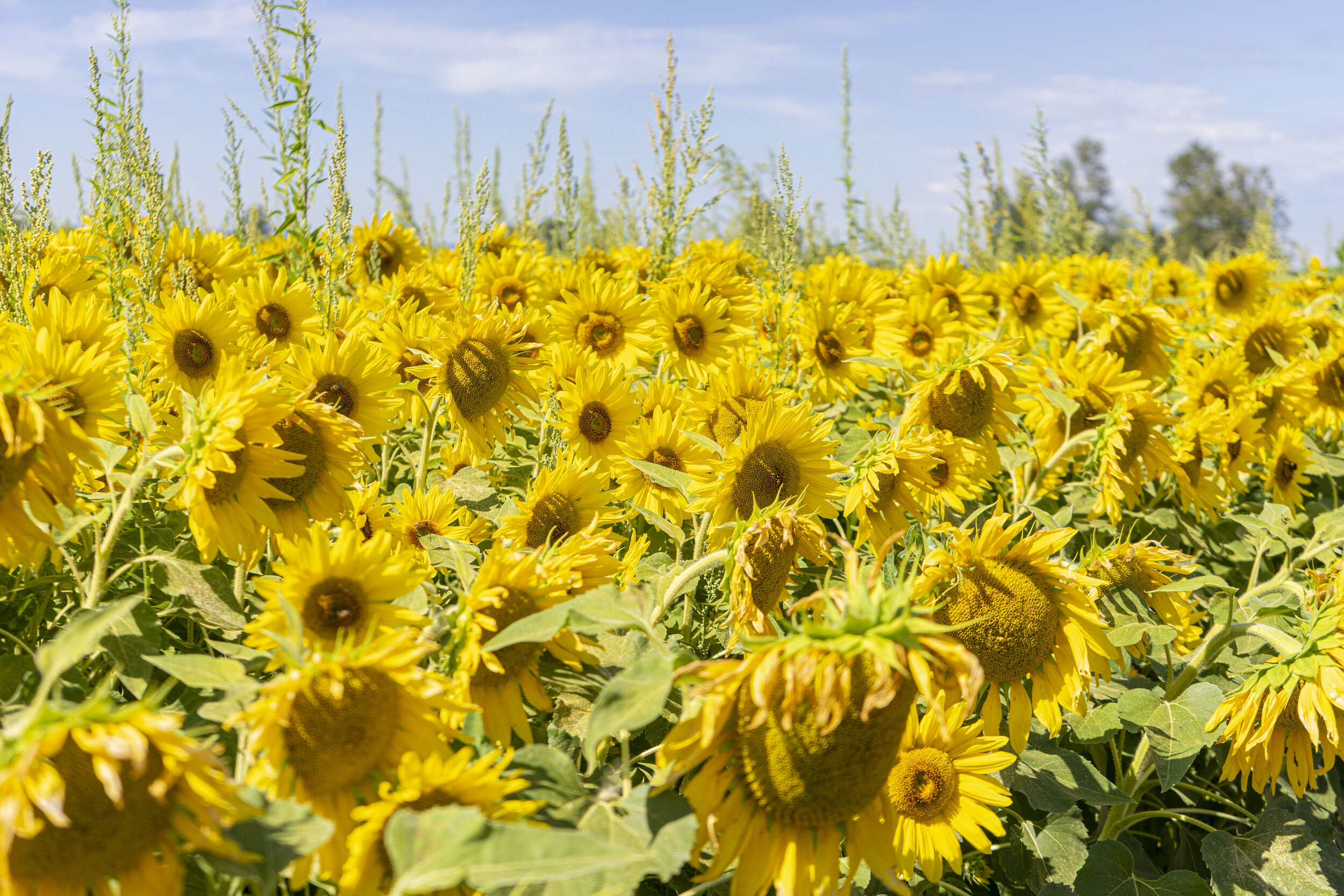 Willow Bar Farm provides ample amounts of forage for their local pollinators.