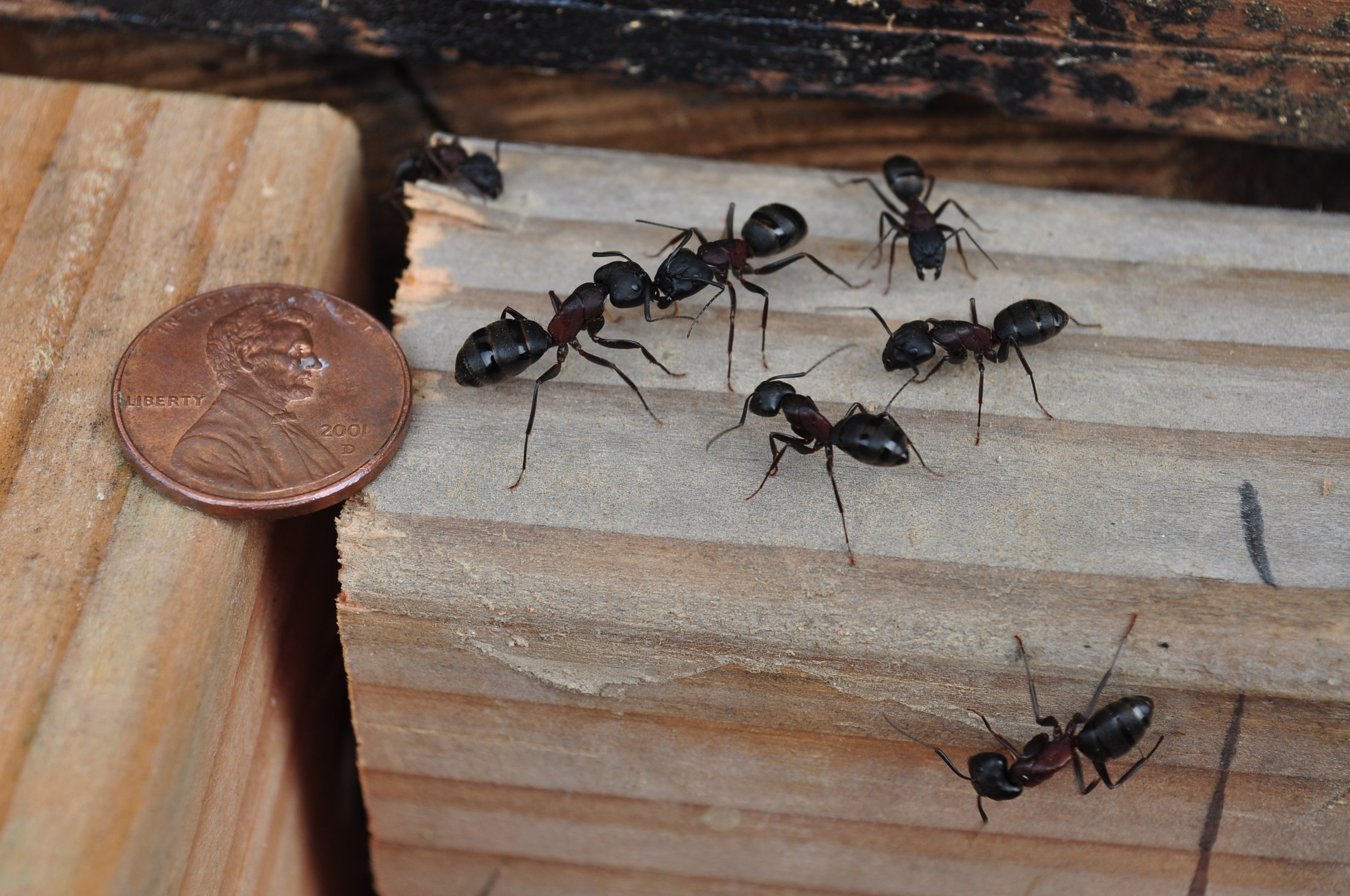 How to Eliminate Carpenter Ants with Pest Control in Suffolk County, NY