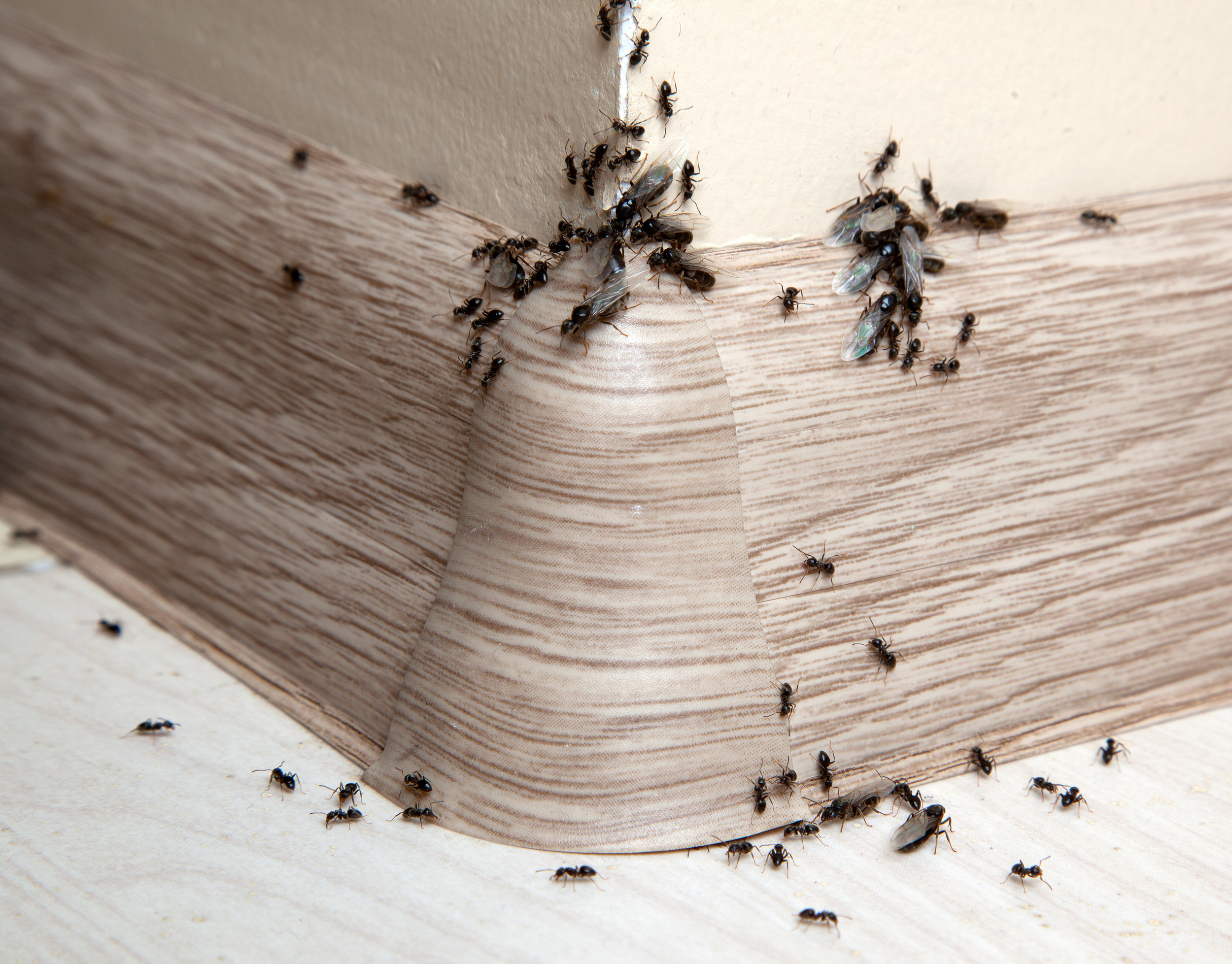 How an Exterminator Can Help You Remove Ants from your Long Island, NY, House