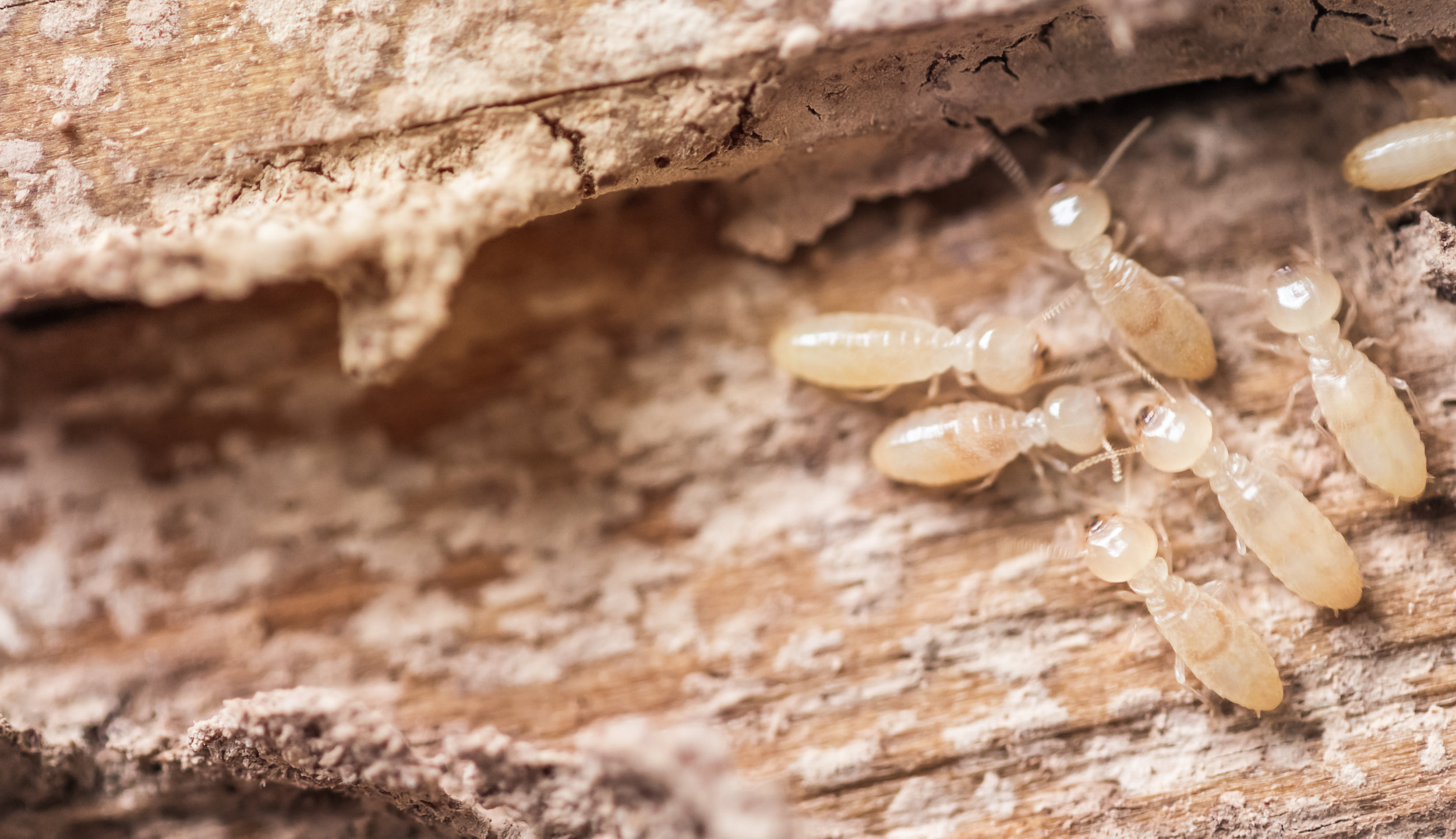 Steps Involved with a Termite Extermination Service in NYC
