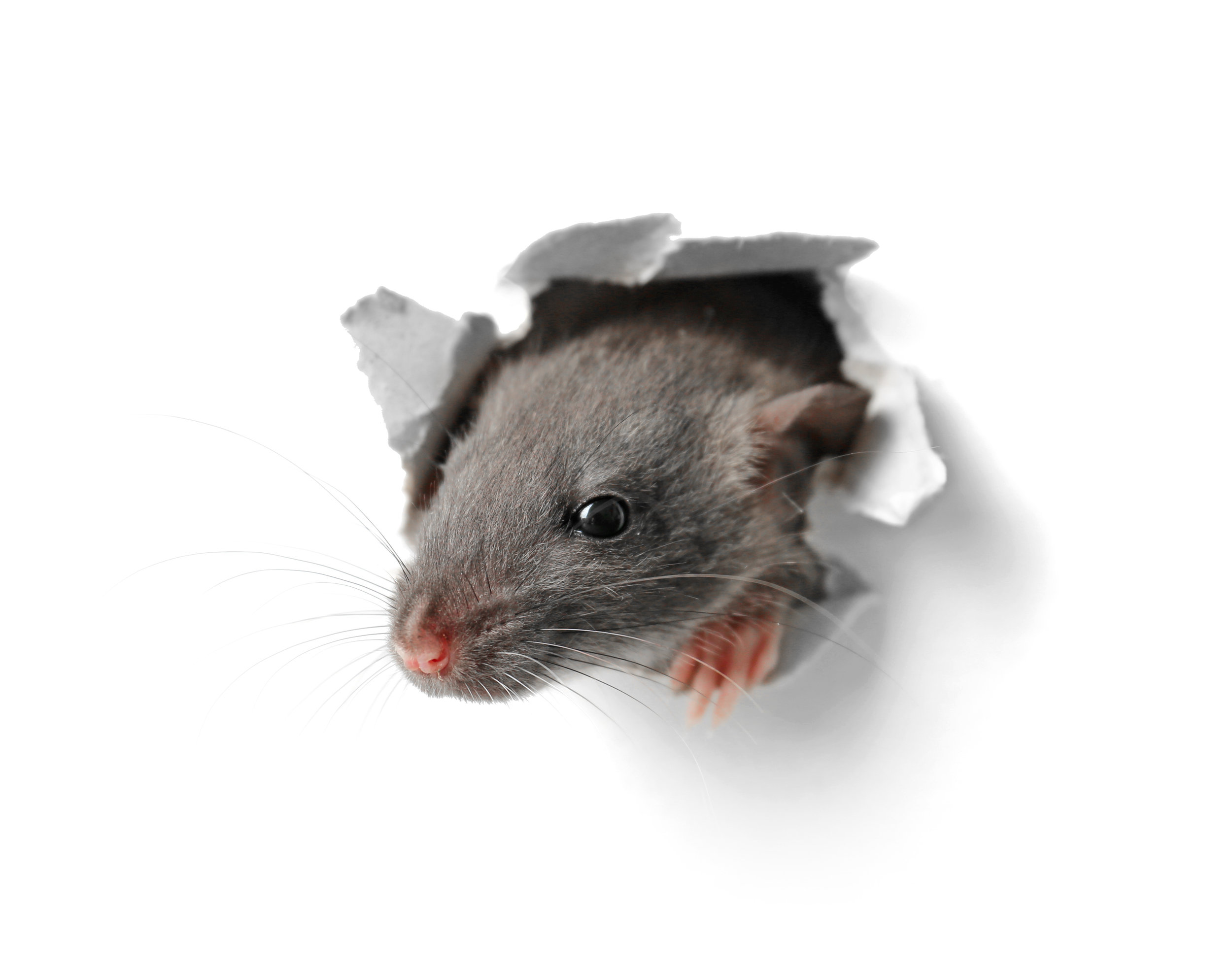 How a Professional Exterminator Can Protect Your Long Island, NY, Home from Rodent Damage