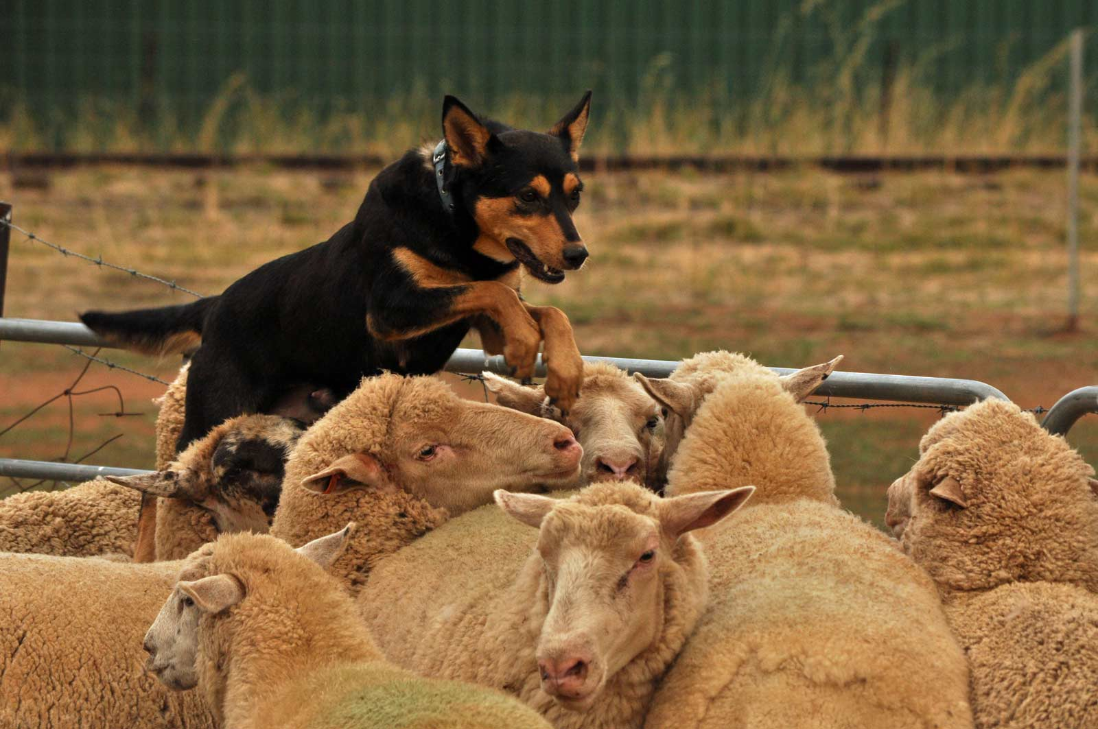 Want to own a Barclay Kelpie  - Our Kelpies are bred to be true all-rounders, Pup discounts apply to dipping clients