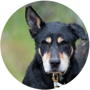 Barclay's Kelpies - Black and Tan working dogs