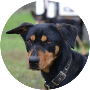 Barclay's Kelpies Guarantee our Kelpie dogs have great natures for the farm owner or family.