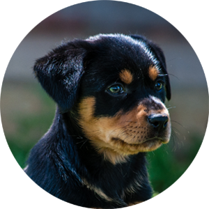 Barclay'-Kelpie Pup black and tan pre-ORDER
