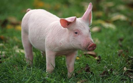 pig-photo.jpg