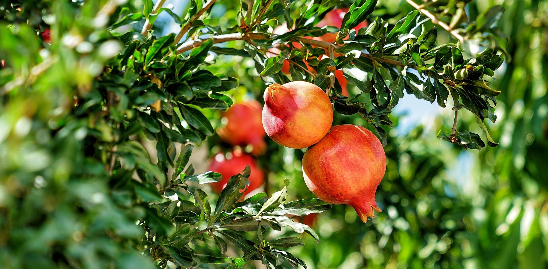pomegranate-2825556_1920.jpg