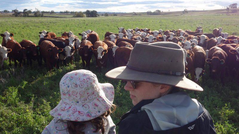 eloise-cows-1-800x450.jpg