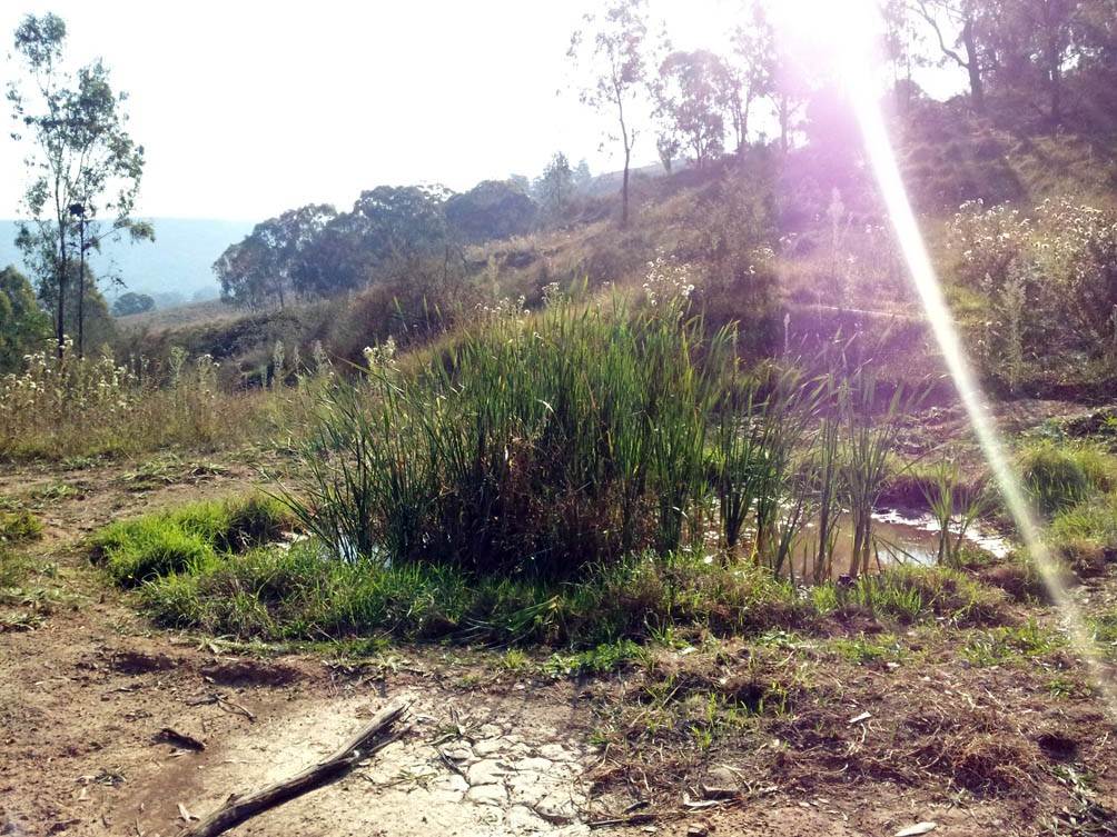 This pond was filled with cumbungi Stuart had planted. It was now appearing up and down the watercourse.