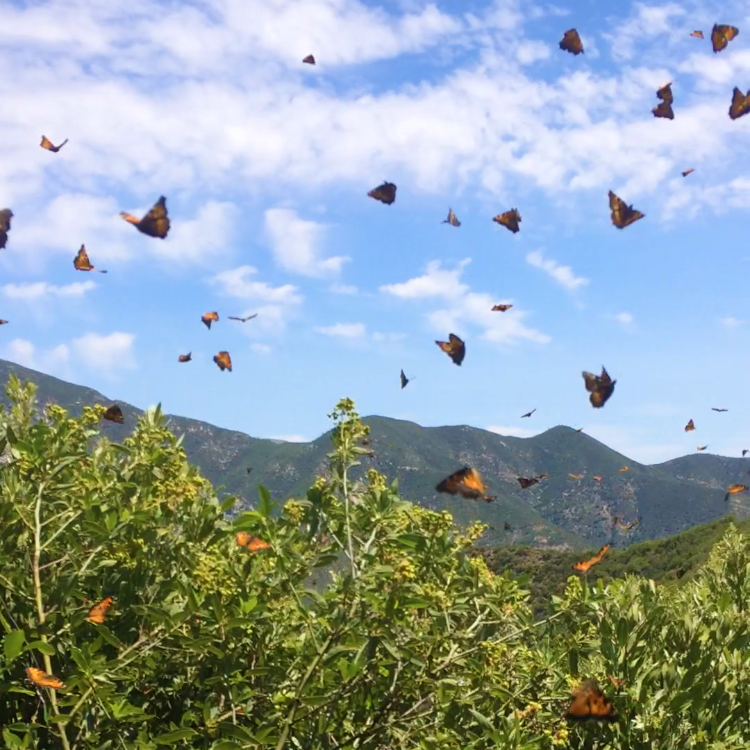 Witnessing the emergence of millions of butterflies in the Tassajara valley.