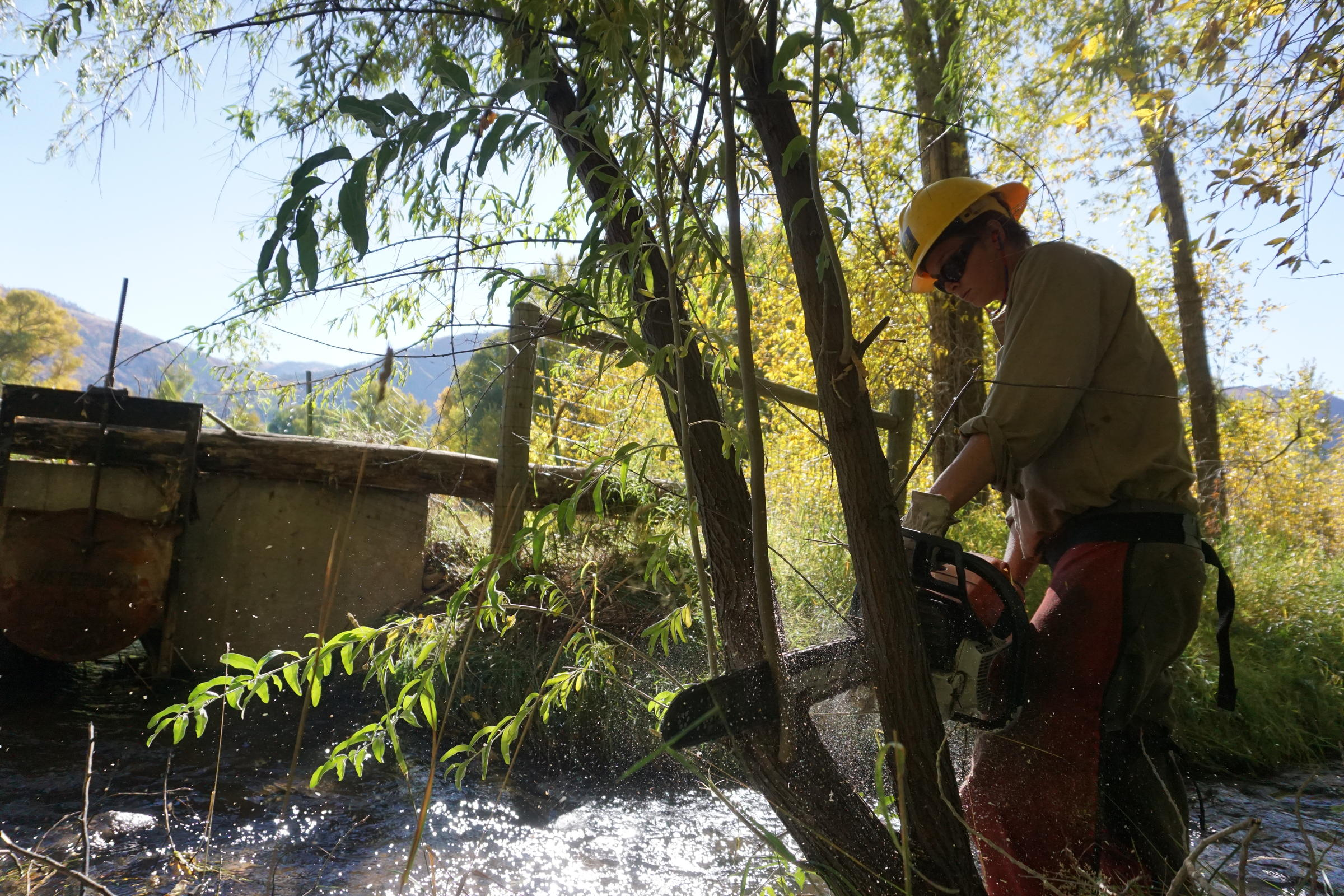 A Southwest Conservation Corps crew member chainsaws a Russian olive. [Photo courtesy of Southwest Conservation Corps]