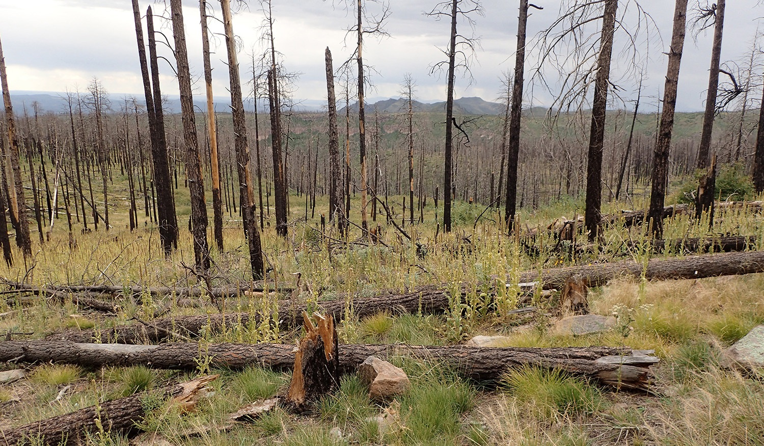 A stand of Ponderosa pines in New Mexico's Santa Fe National Forest recovers from the Las Conchas fire, which was at the time the largest wildfire in state history. [Photo courtesy of Western State Colorado University]