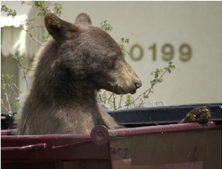 A young bear enjoys some urban snacking. [Photo courtesy of Colorado Parks and Wildlife]