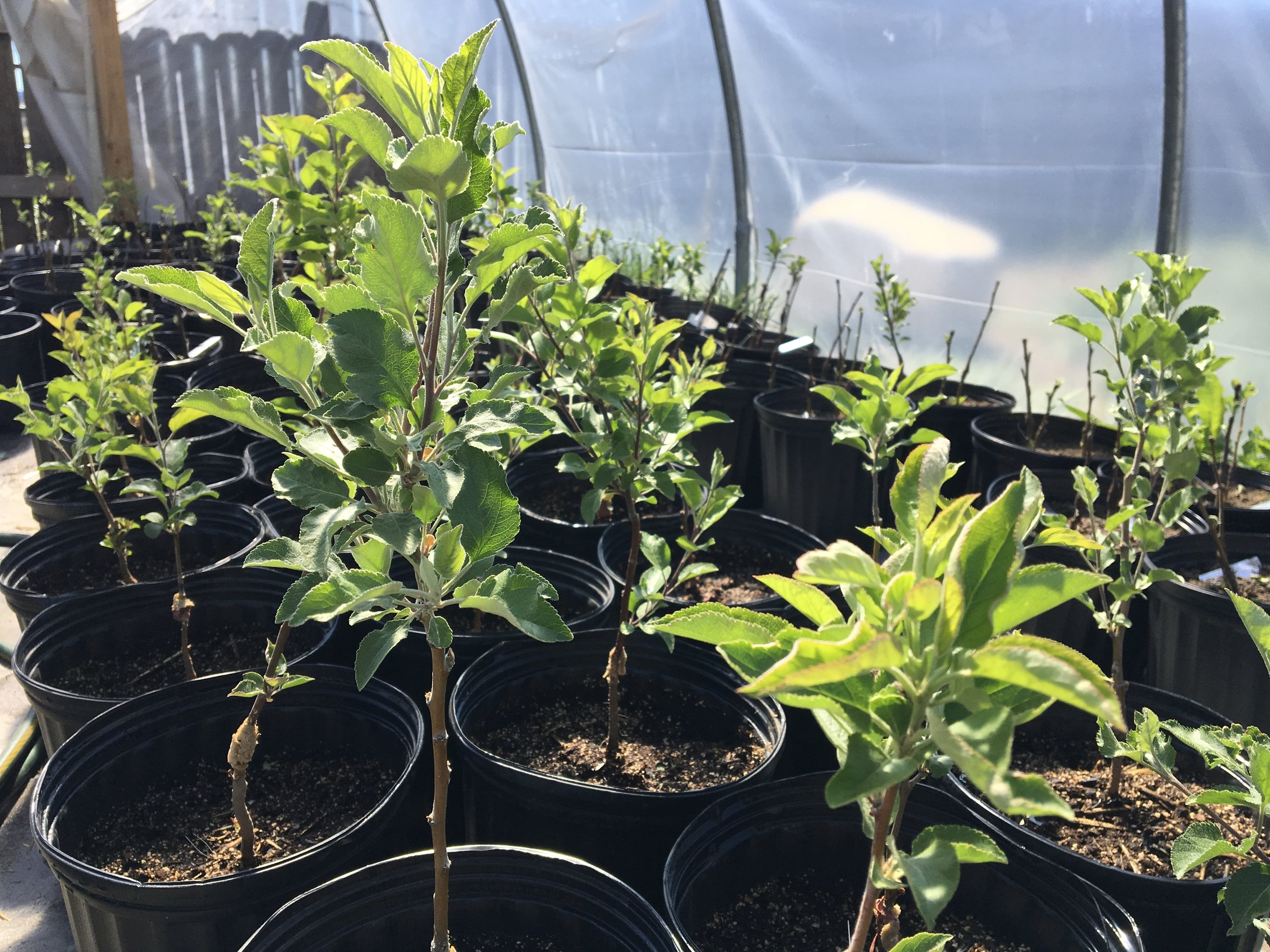 Baby apple trees, created with grafts from heirloom varieties, are ready to be sold and planted in rural southwestern Colorado, ensuring that the production of fruit carries on for many years. [Photo courtesy of the Apple Core Project]
