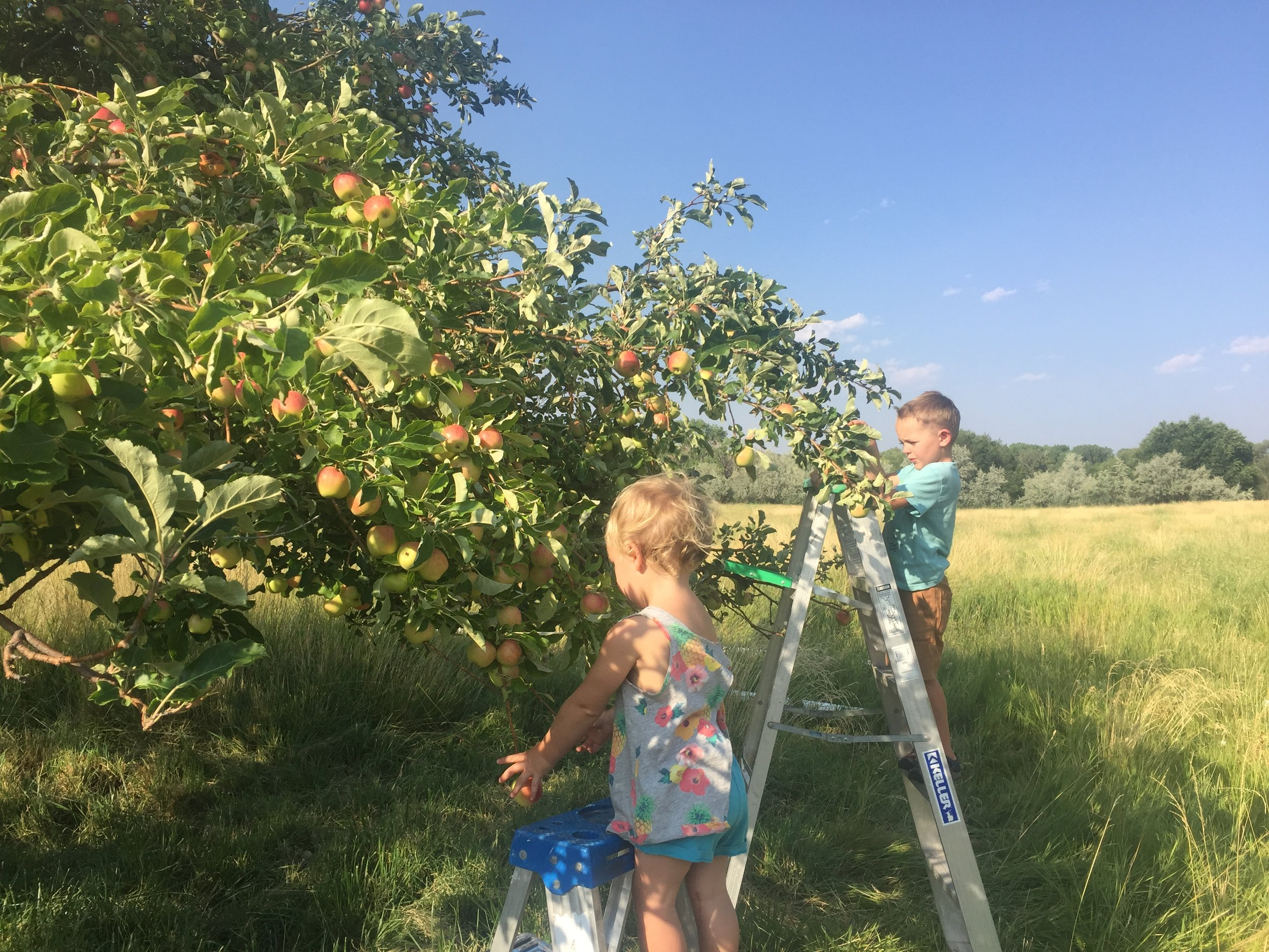 Mato and Chayton Johansson pick apples from what is believed to be a Gravenstein tree near Nucla. [Photo courtesy of the Apple Core Project]