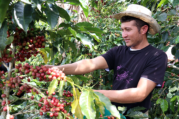 Emilio picks all coffee by hand; 64 beans are needed for one cup.