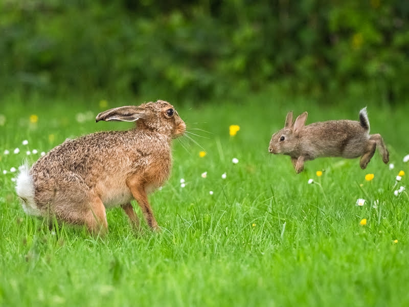 Hare and Rabbit stand off Photo: Andrew Fusek Peters