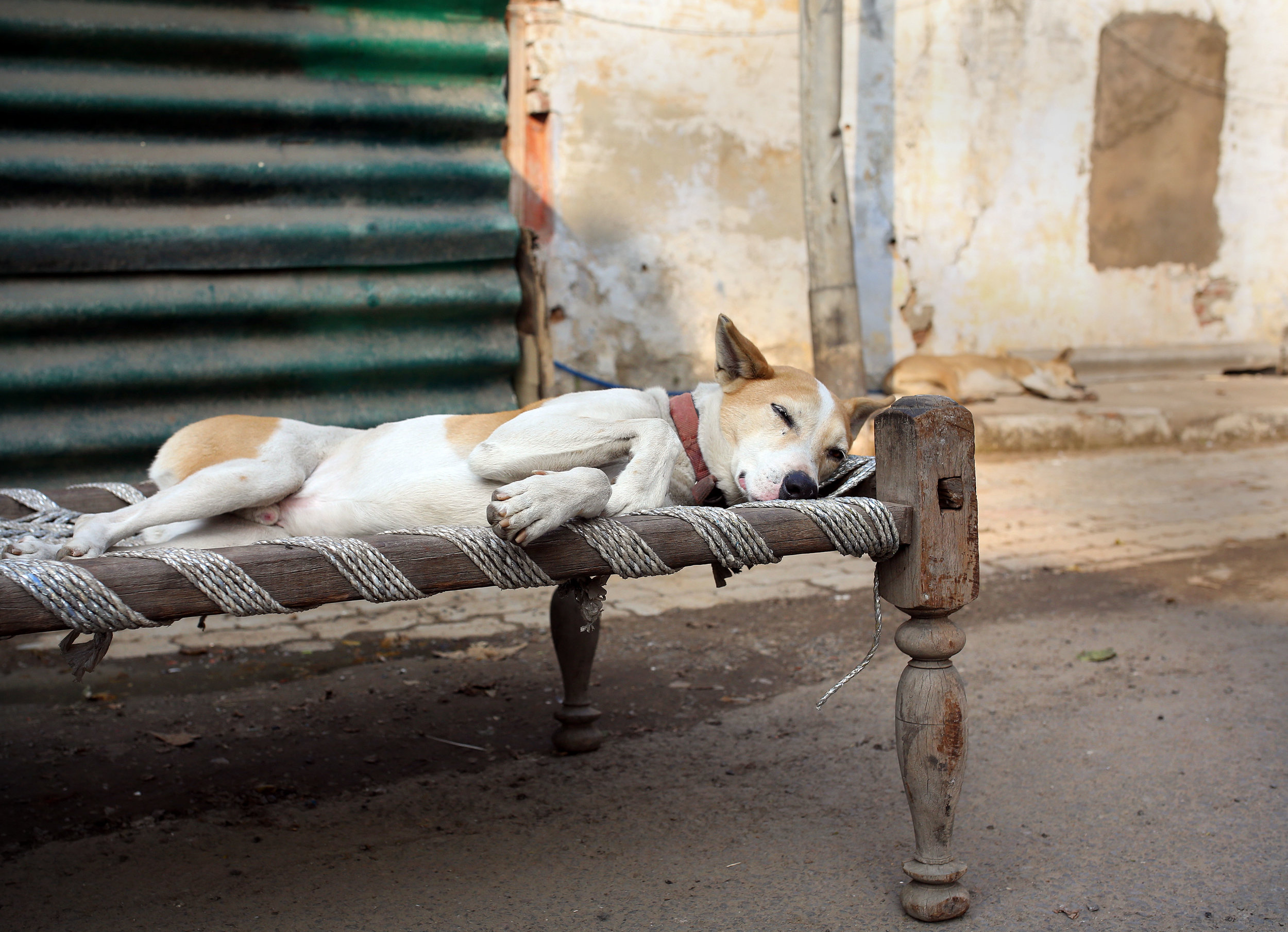 Sleeping dogs pictured in New Delhi, India