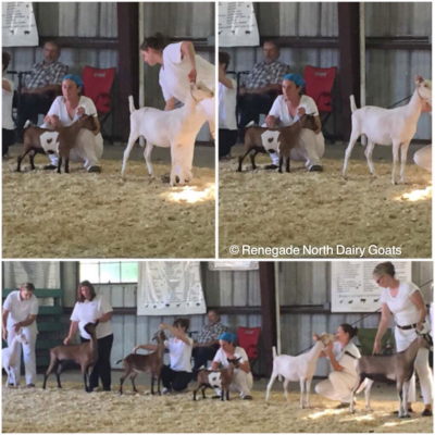 Fate in Junior Best of Show class at the Dakota County Fair on 8/7/2017