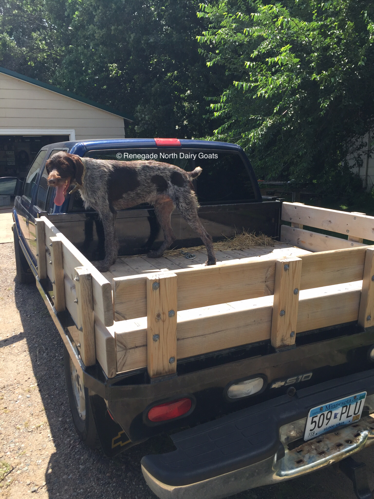 8/14/16 - Dude loves the back of the truck as it means going somewhere fun