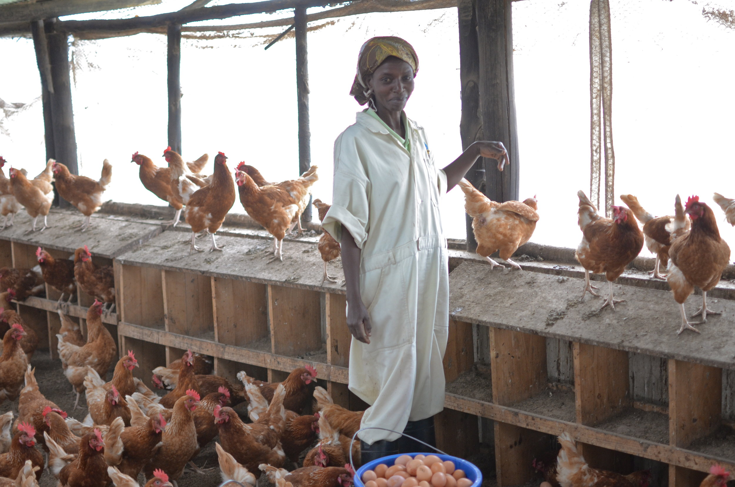 Zamura Farms - Zamura Farms was the first commercial egg operation in Rwanda. Its initial goal was to employ women and genocide victims. The farm also provides eggs to our partner One Egg.