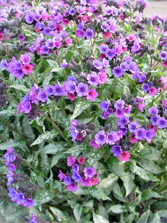 Pulmonaria 'Majeste' flowers