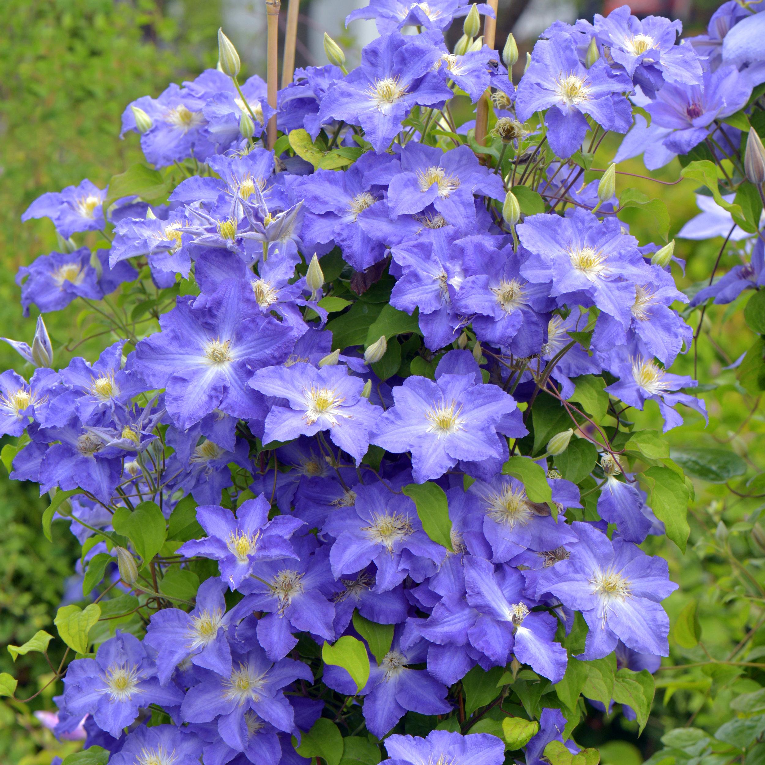 Brother_Stefan_clematis_Franczek_vine_easiest_garden.jpg