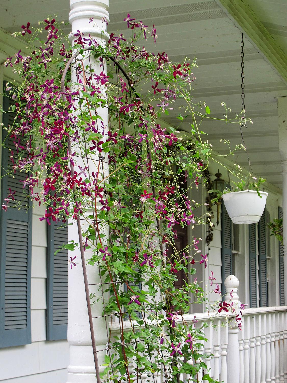 sweet-summer-love-clematis-full-plant.jpg