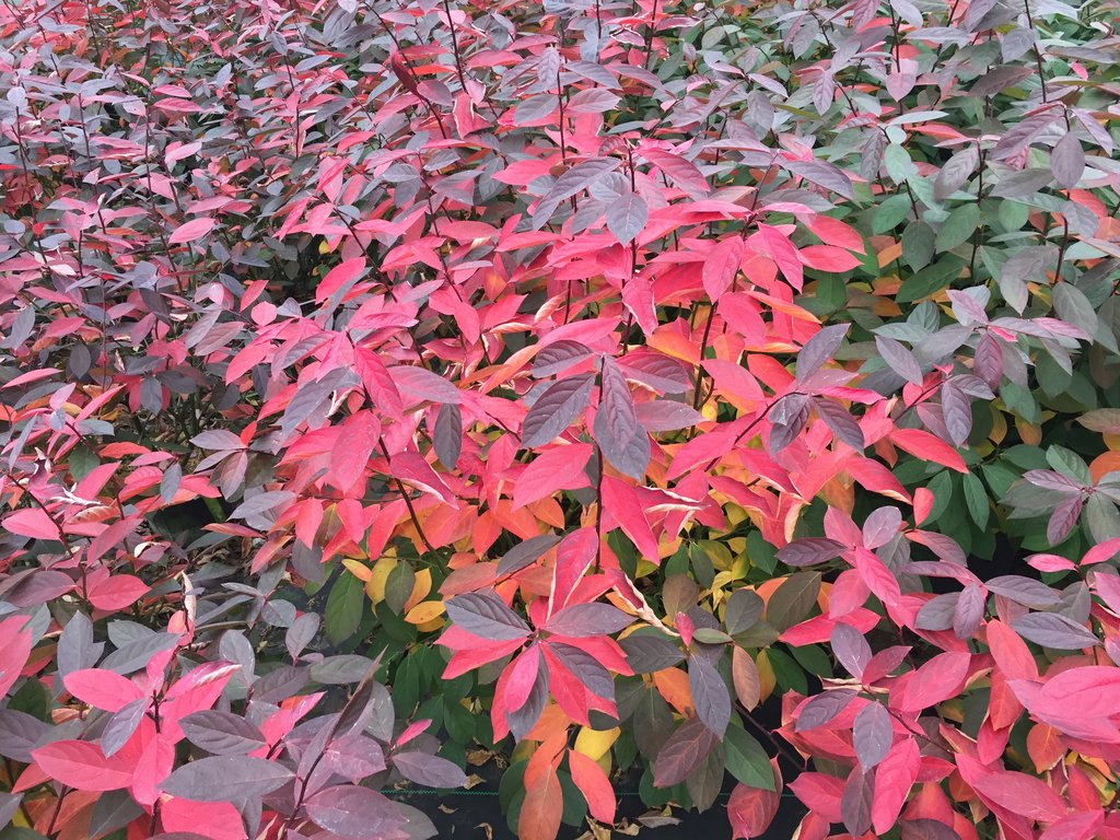 scentlandia_itea_fall_color.jpg