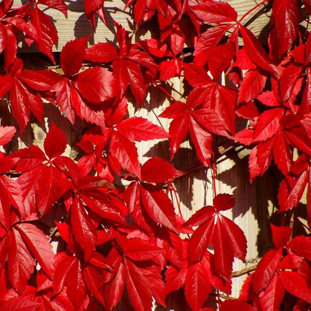 Parthenocissus quinquefolia  'Red Wall'