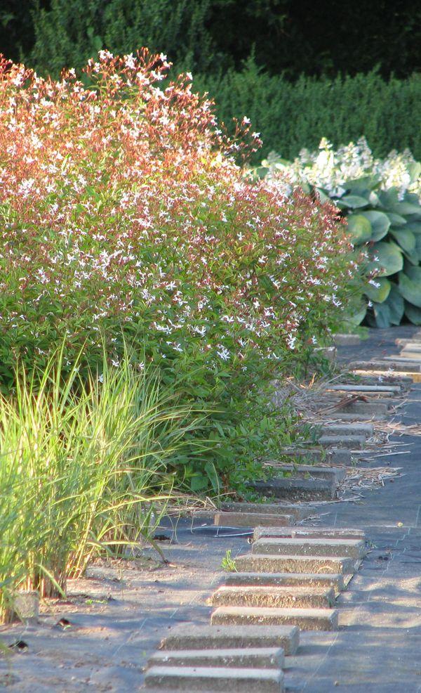 Gillenia trifoliata2.jpg