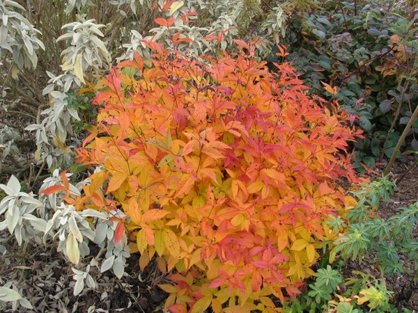 gillenia-fall-color.jpg