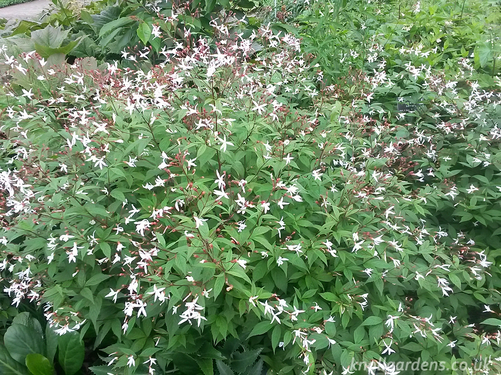 Gillenia-trifoliata449.jpg