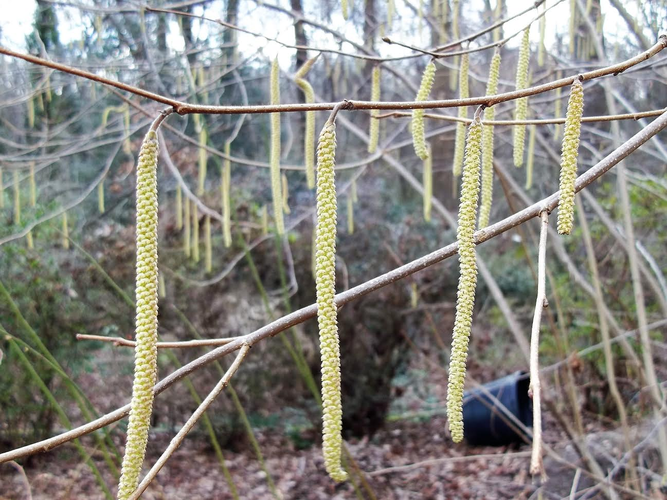 haxelnut-catkins-close-up.jpg