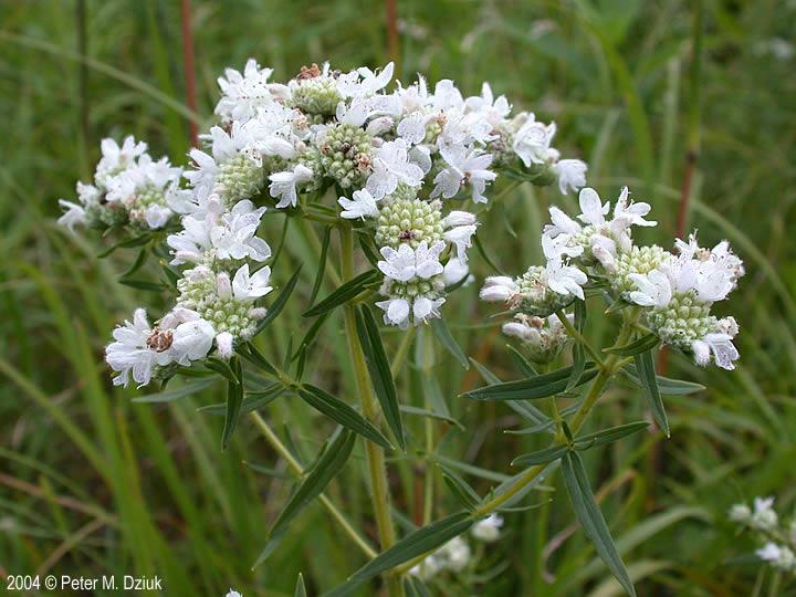pycnanthemum-virginianum-0001.jpg