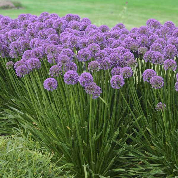 Allium 'Millenium' Perennial Plant of the year for 2018