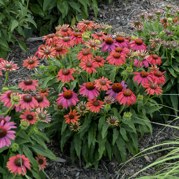 Echinacea  Lakota 'Santa Fe'